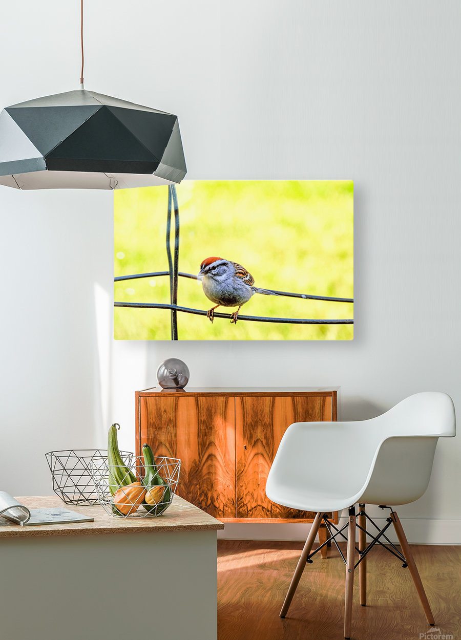 Sparrow on Wire  HD Metal print with Floating Frame on Back