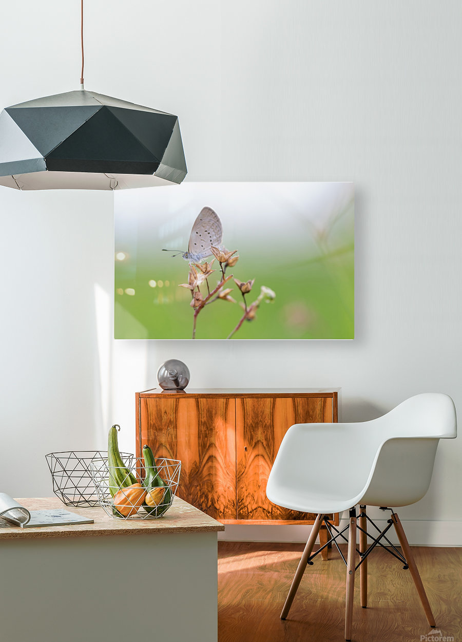 Gray butterfly perching on dried grass  HD Metal print with Floating Frame on Back