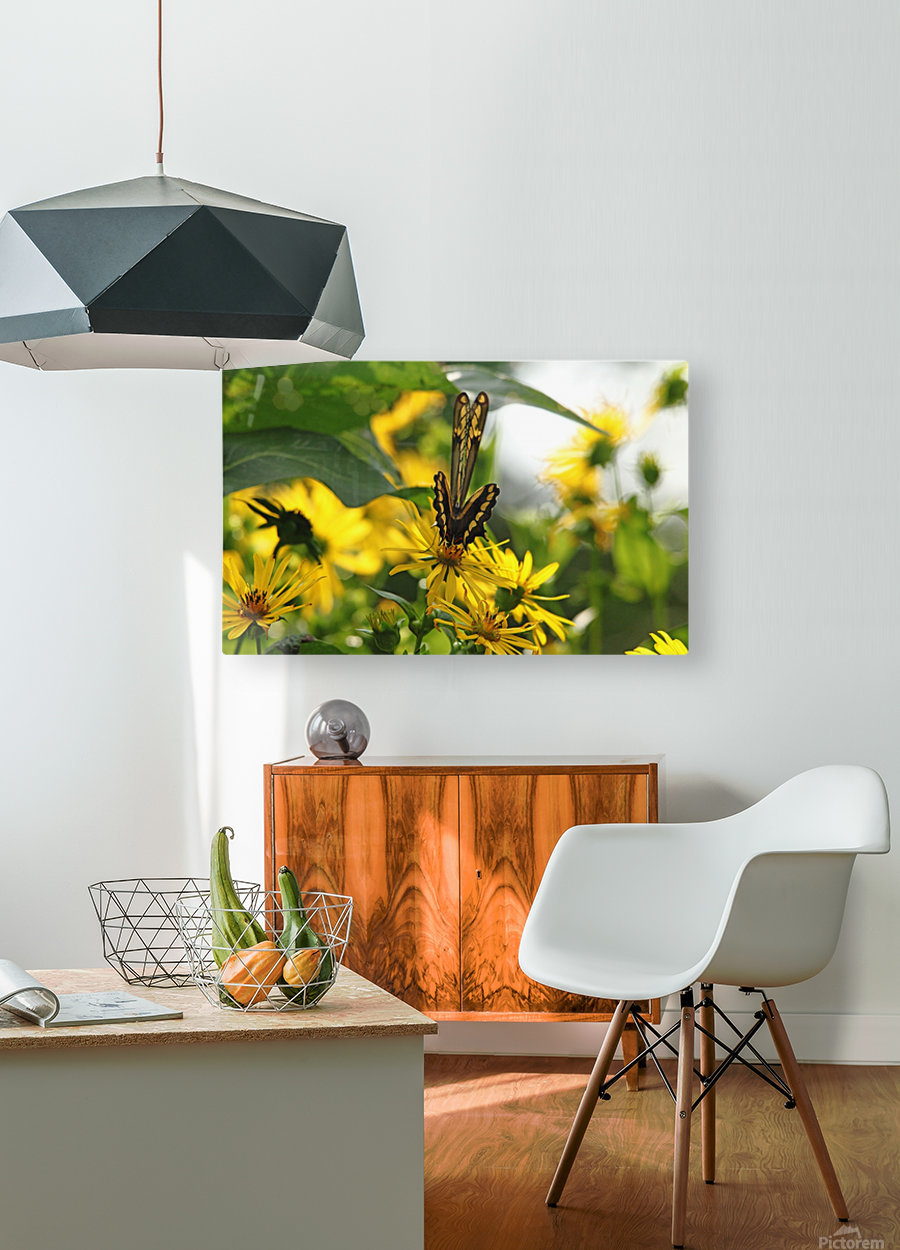 Giant Swallowtail Wings Folded  HD Metal print with Floating Frame on Back
