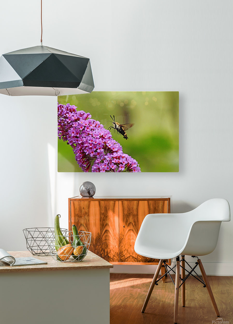 Hummingbird Moth Sipping Nectar  HD Metal print with Floating Frame on Back