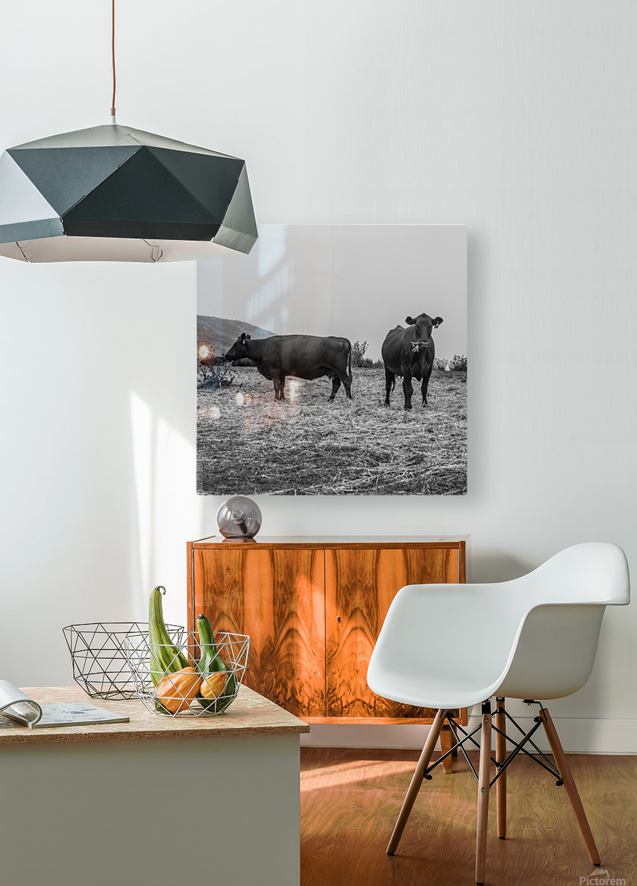 Cows in the mist  HD Metal print with Floating Frame on Back