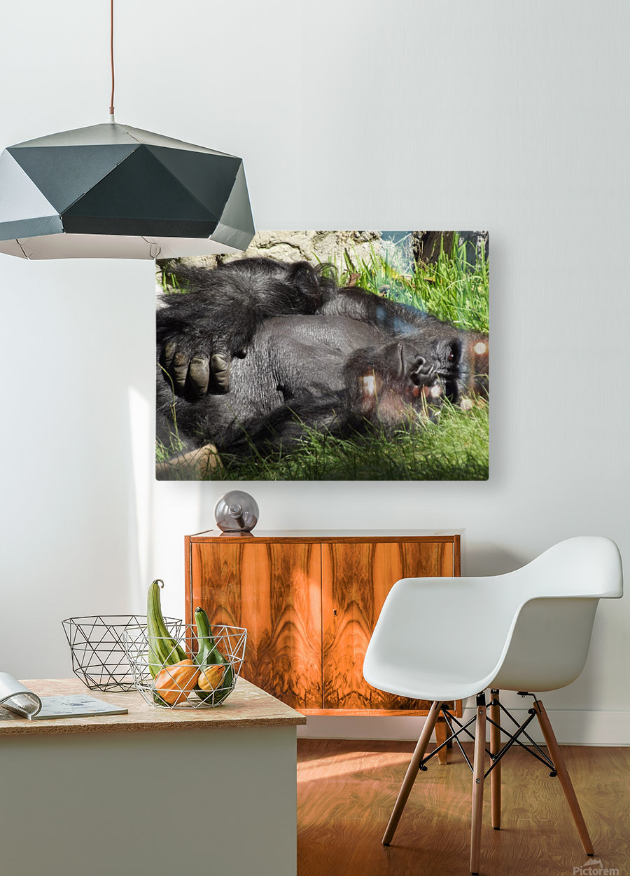 Gorilla Glare  HD Metal print with Floating Frame on Back