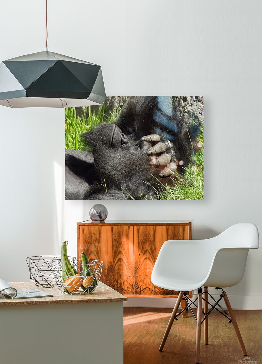 Gorilla Headache  HD Metal print with Floating Frame on Back