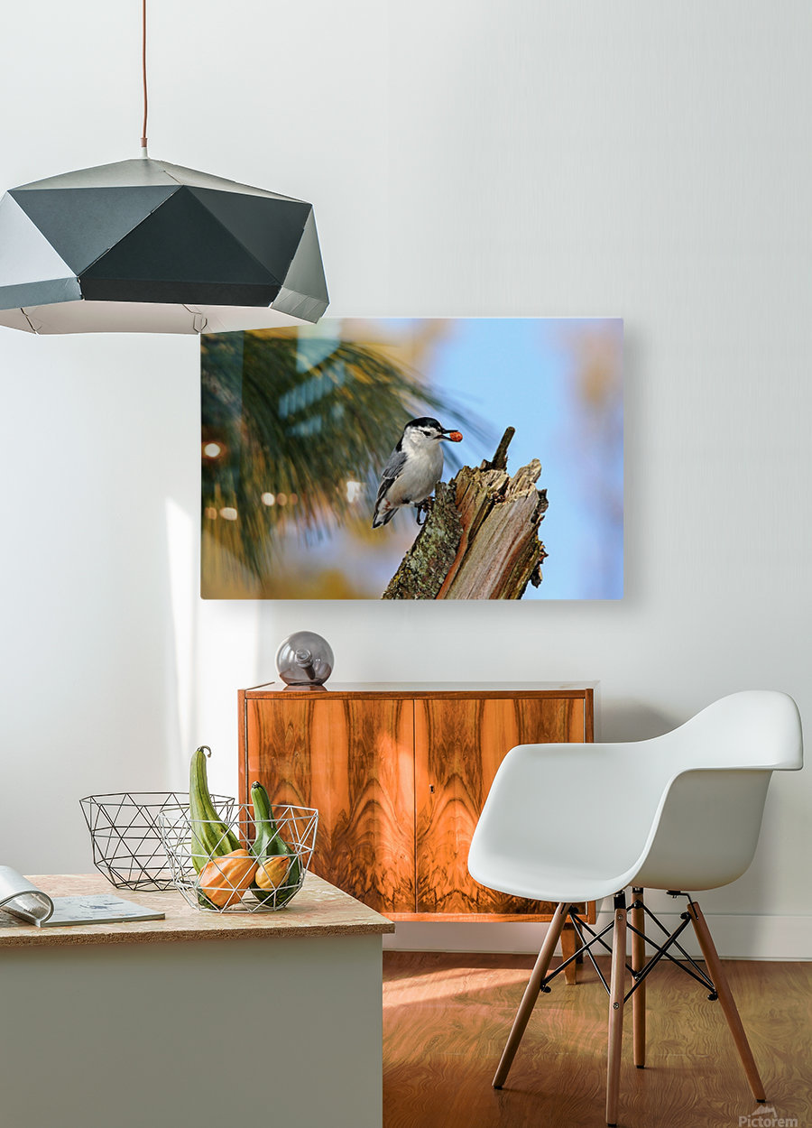 Nutty Nuthatch  HD Metal print with Floating Frame on Back