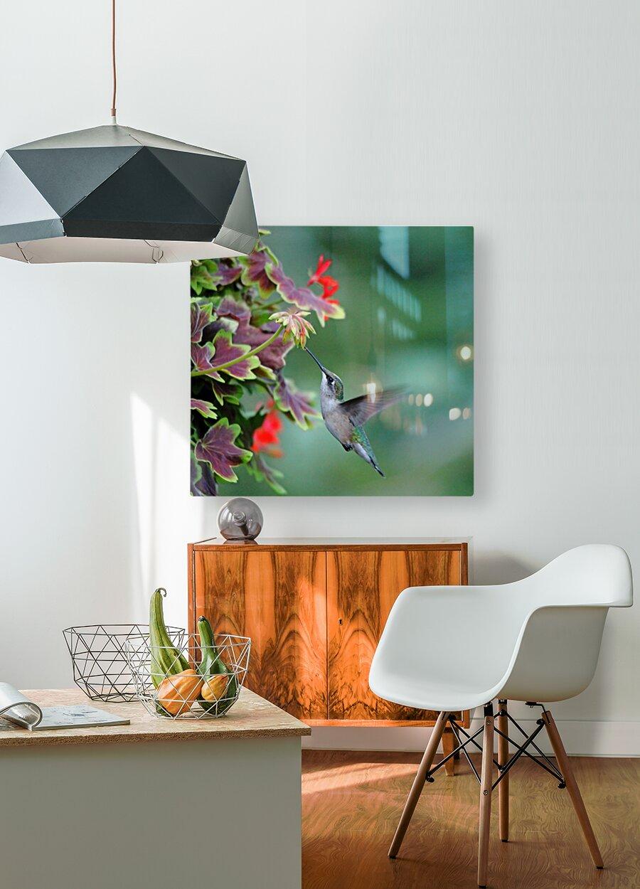 Hummingbird Loving The Orange Geranium  HD Metal print with Floating Frame on Back