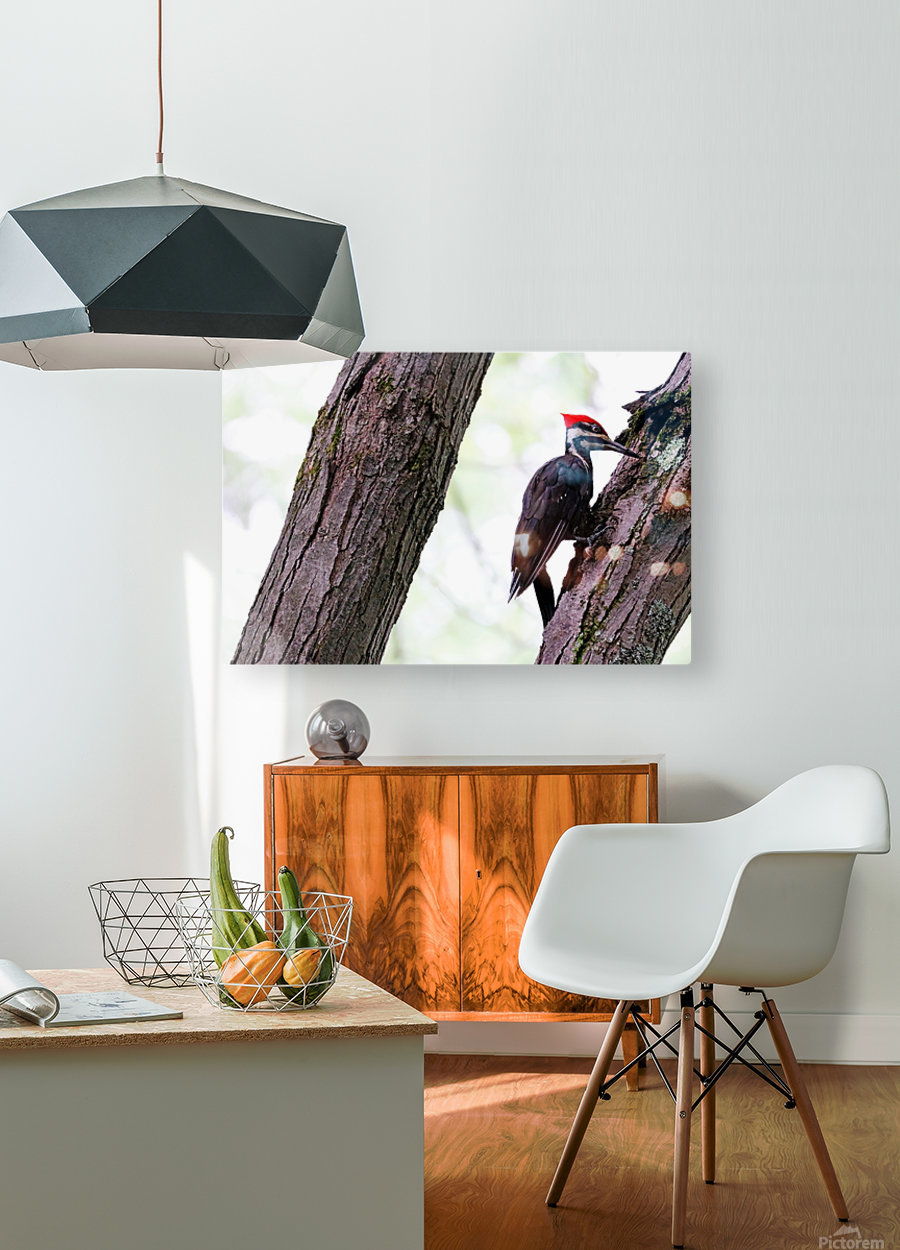 Pileated Woodpecker Checking The Cracks  HD Metal print with Floating Frame on Back