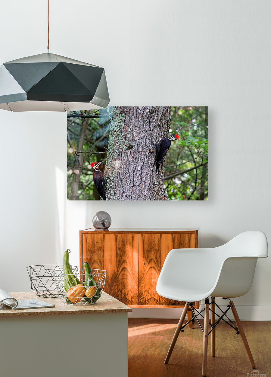 Male And Female Pileated Woodpeckers  HD Metal print with Floating Frame on Back