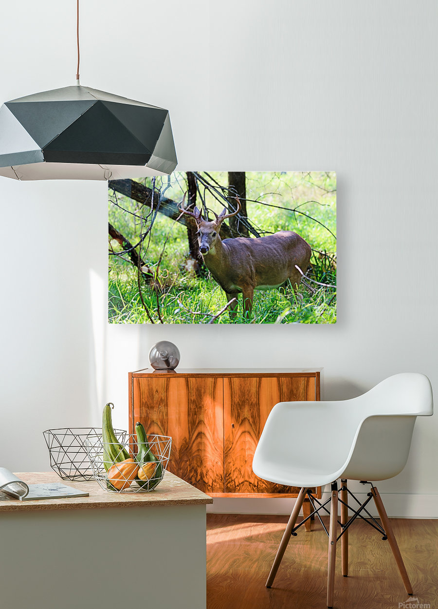 A Buck In The Grass  HD Metal print with Floating Frame on Back