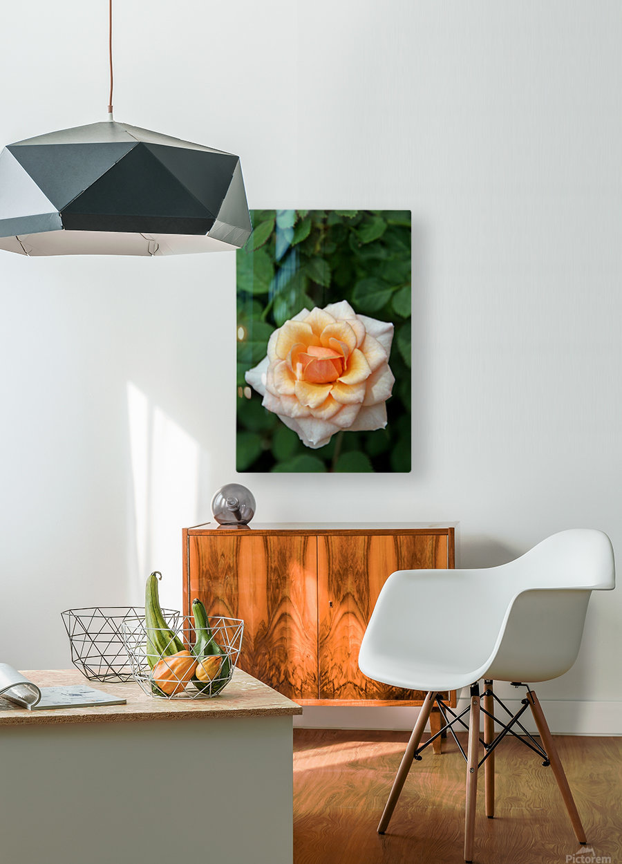 Pretty as a Rose  HD Metal print with Floating Frame on Back
