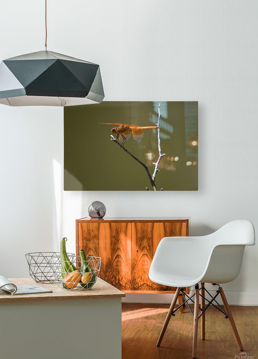 Orange Dragonfly  HD Metal print with Floating Frame on Back