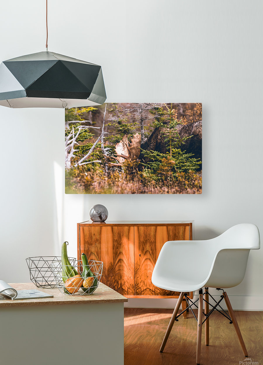Bull Moose  HD Metal print with Floating Frame on Back