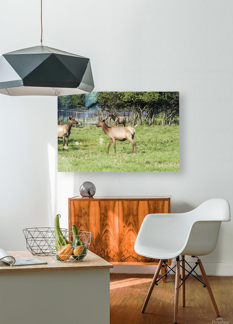 Elk Red Tailed Deer or Wapiti 4  HD Metal print with Floating Frame on Back