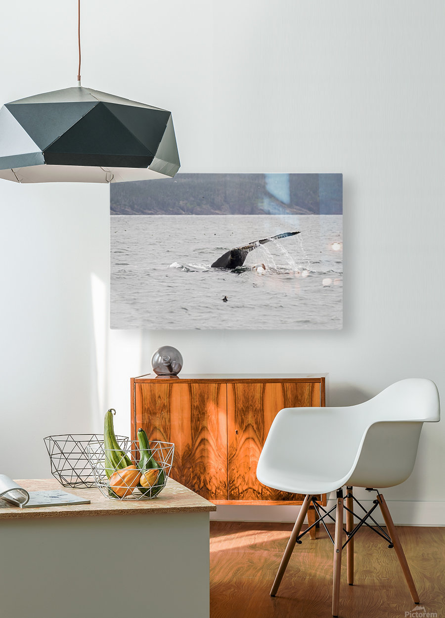 Humback whale a puffin and a murre 4  HD Metal print with Floating Frame on Back
