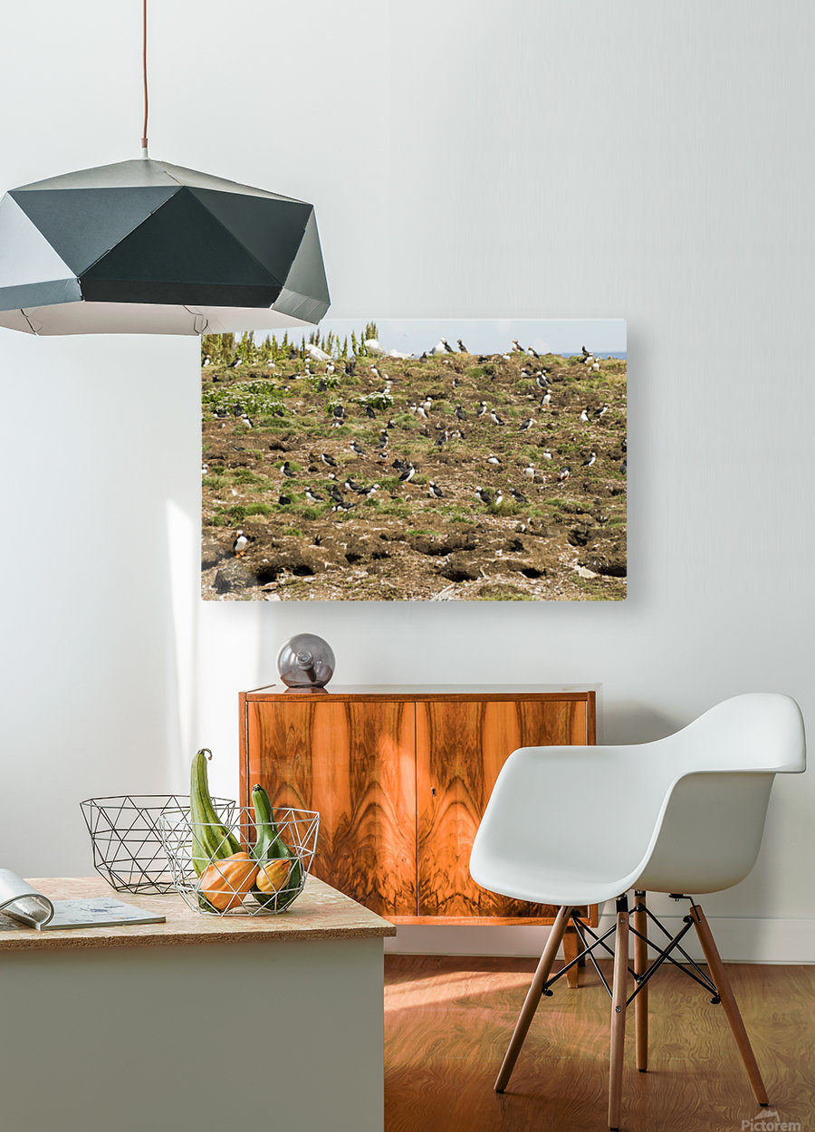 Puffins being puffins  HD Metal print with Floating Frame on Back