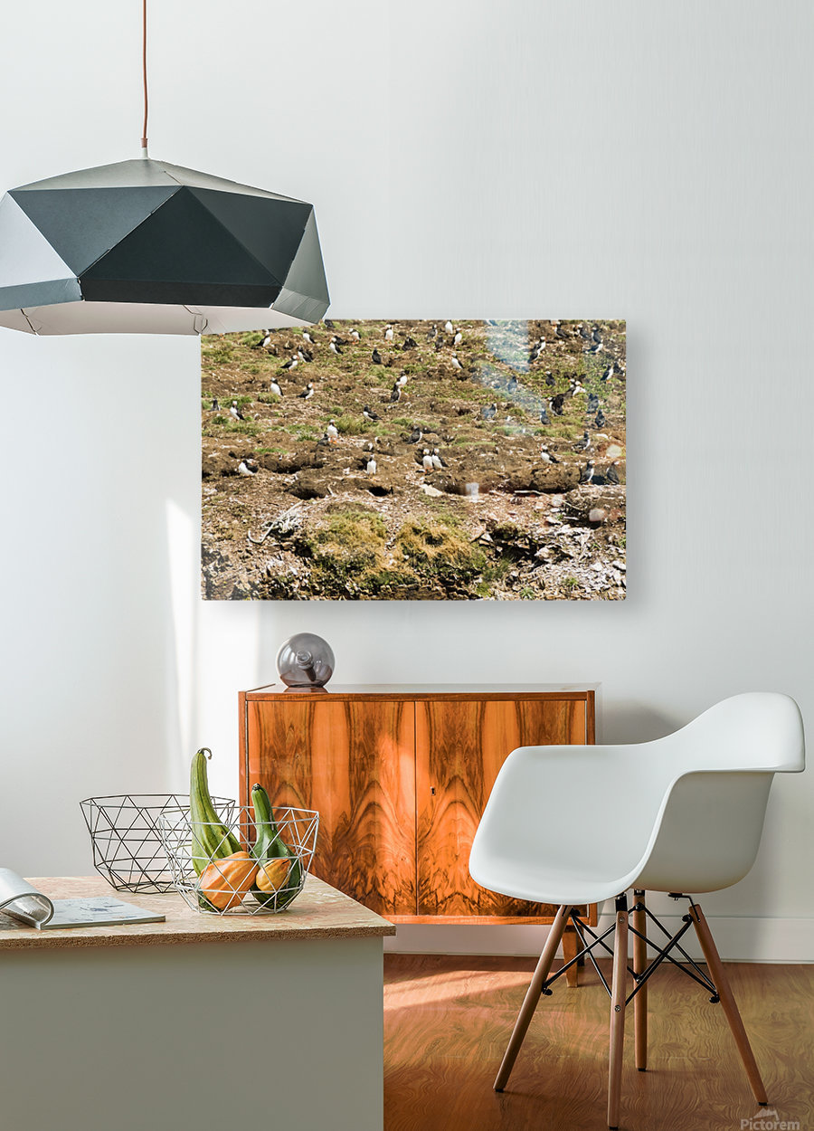 Puffins being puffins 7  HD Metal print with Floating Frame on Back