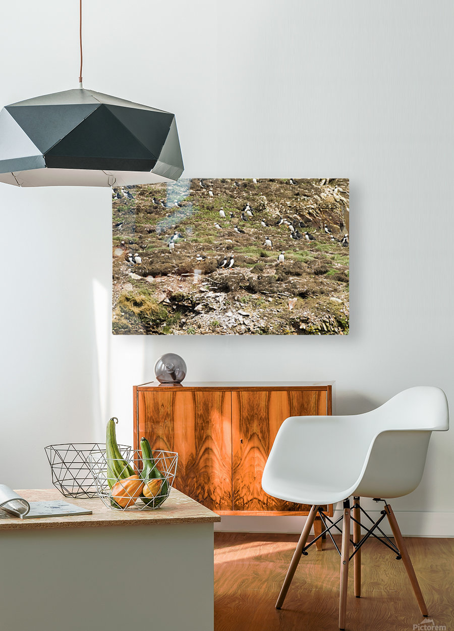 Puffins being puffins 6  HD Metal print with Floating Frame on Back