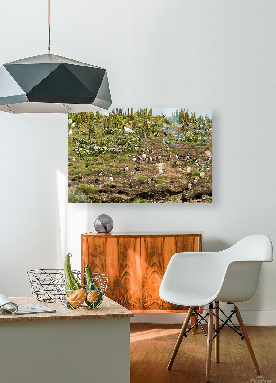 Puffins being puffins 2  HD Metal print with Floating Frame on Back