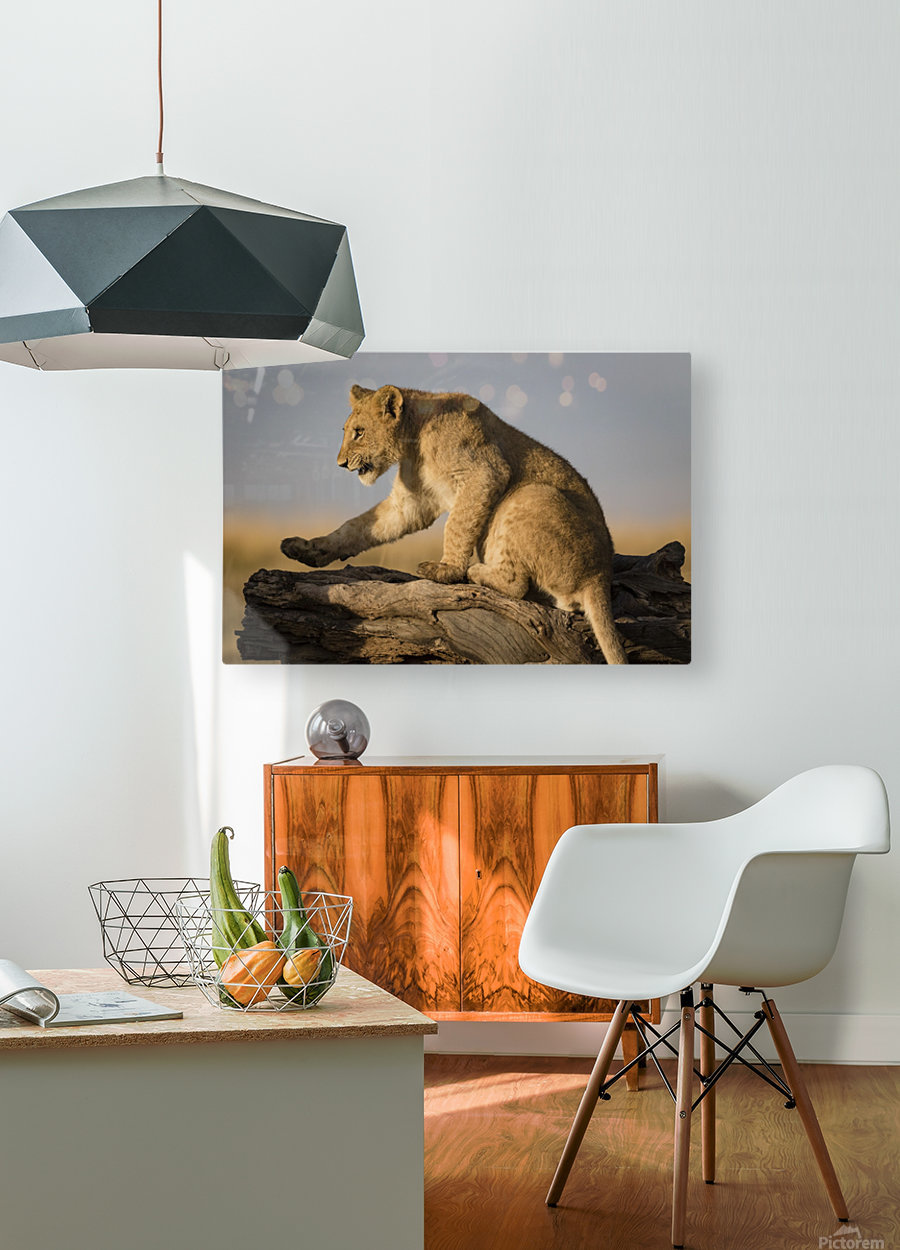 Small Step for Lionkind  HD Metal print with Floating Frame on Back