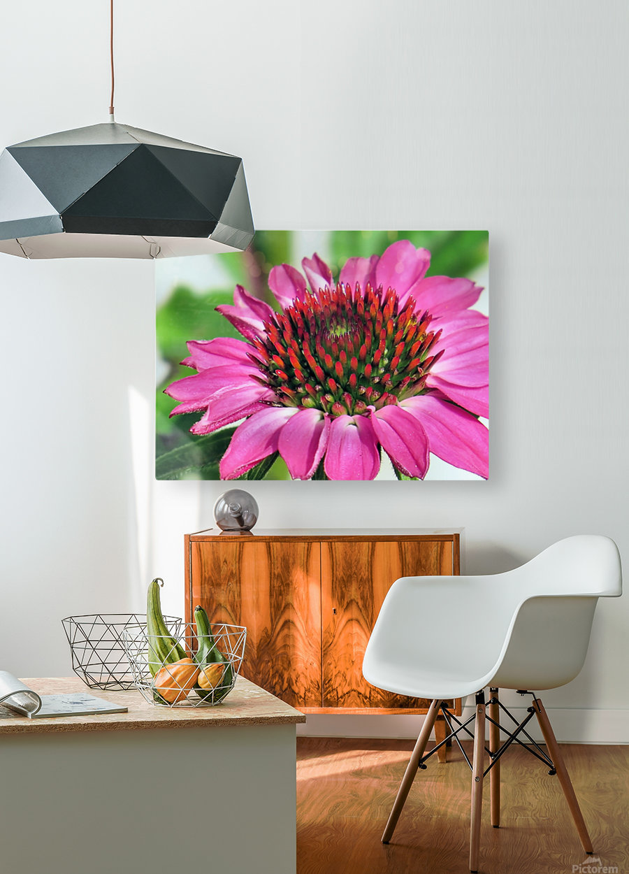 Pink coneflower   HD Metal print with Floating Frame on Back