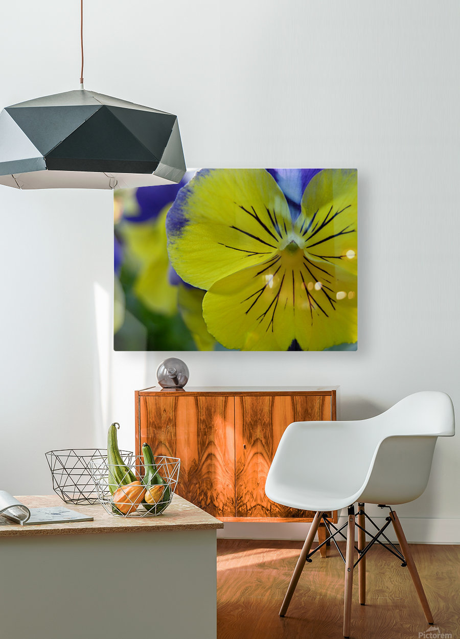 Yellow Pansy Photograph  HD Metal print with Floating Frame on Back