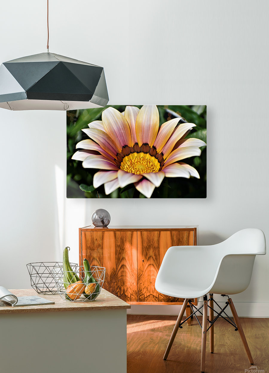Gazania Flower Photograph in Orange and Pink  HD Metal print with Floating Frame on Back