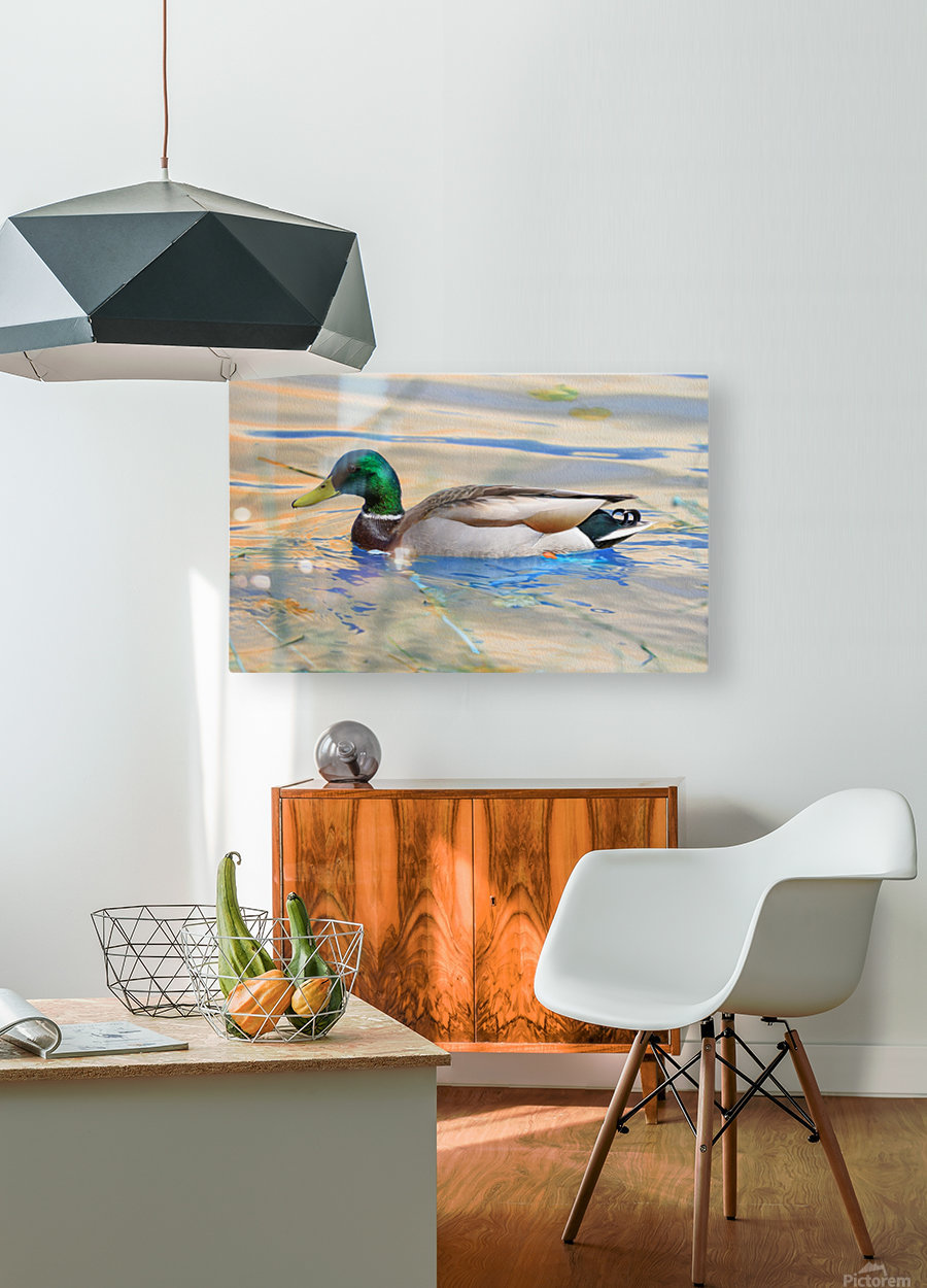 Canard Colvert  HD Metal print with Floating Frame on Back