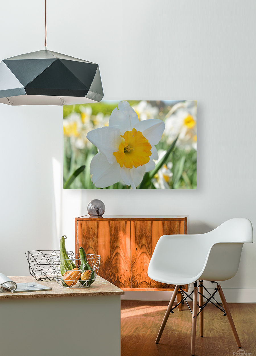 White Daffodil Photograph  HD Metal print with Floating Frame on Back