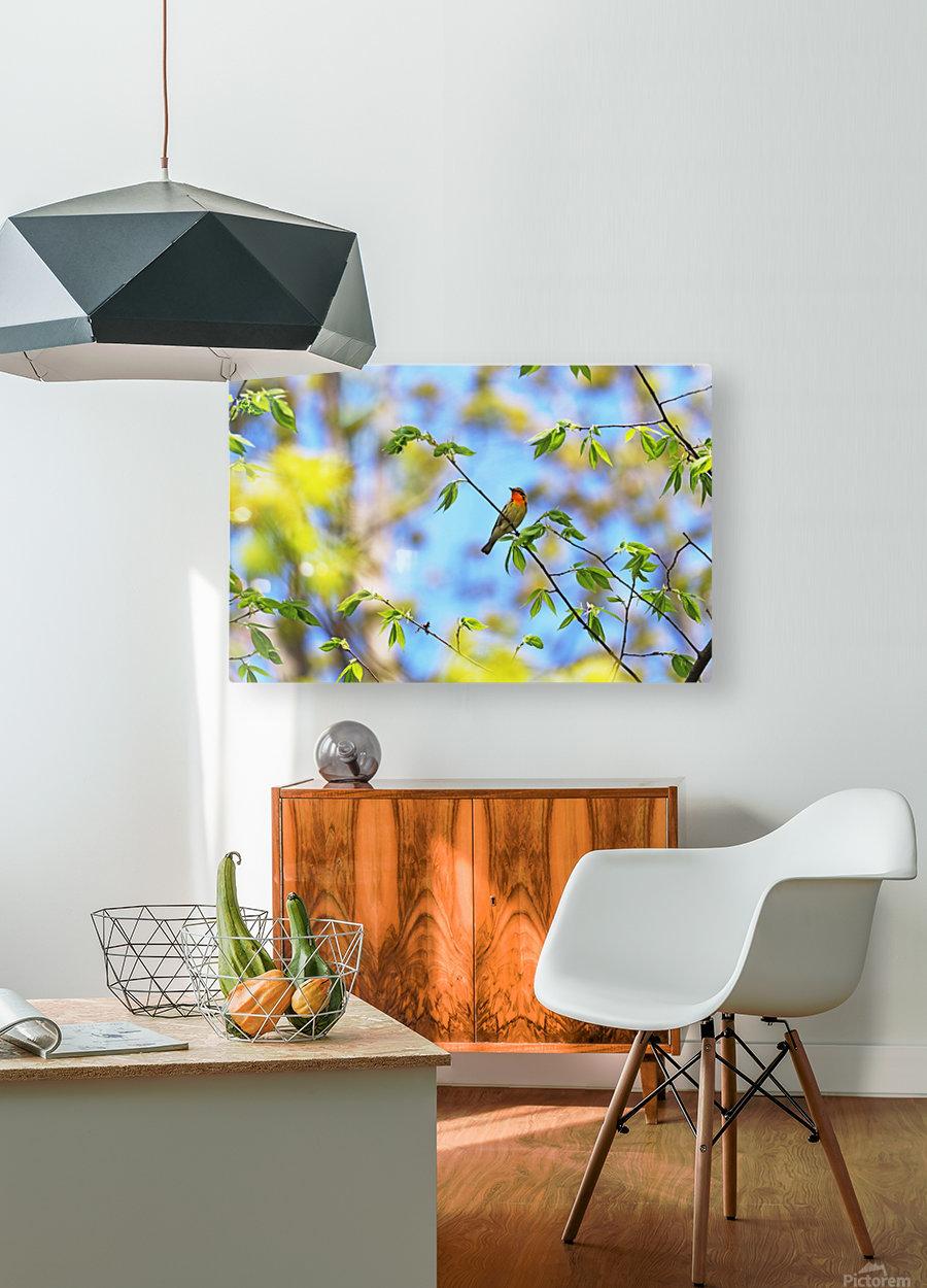 Orange Throat  HD Metal print with Floating Frame on Back