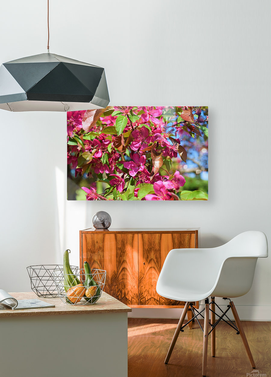 Ticonderoga Crab Apple Flowers in May  HD Metal print with Floating Frame on Back