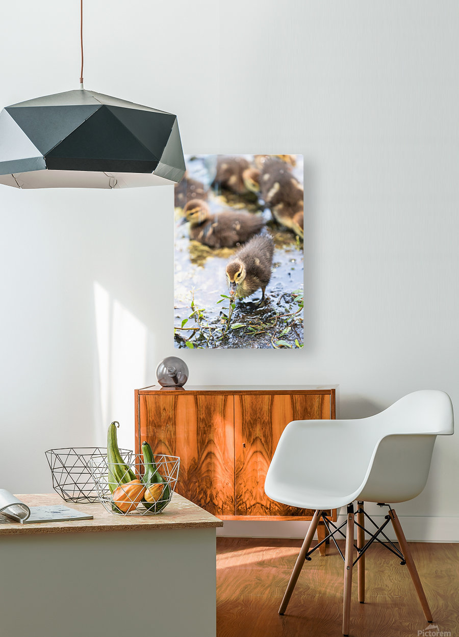 Baby - Baby Duck  HD Metal print with Floating Frame on Back