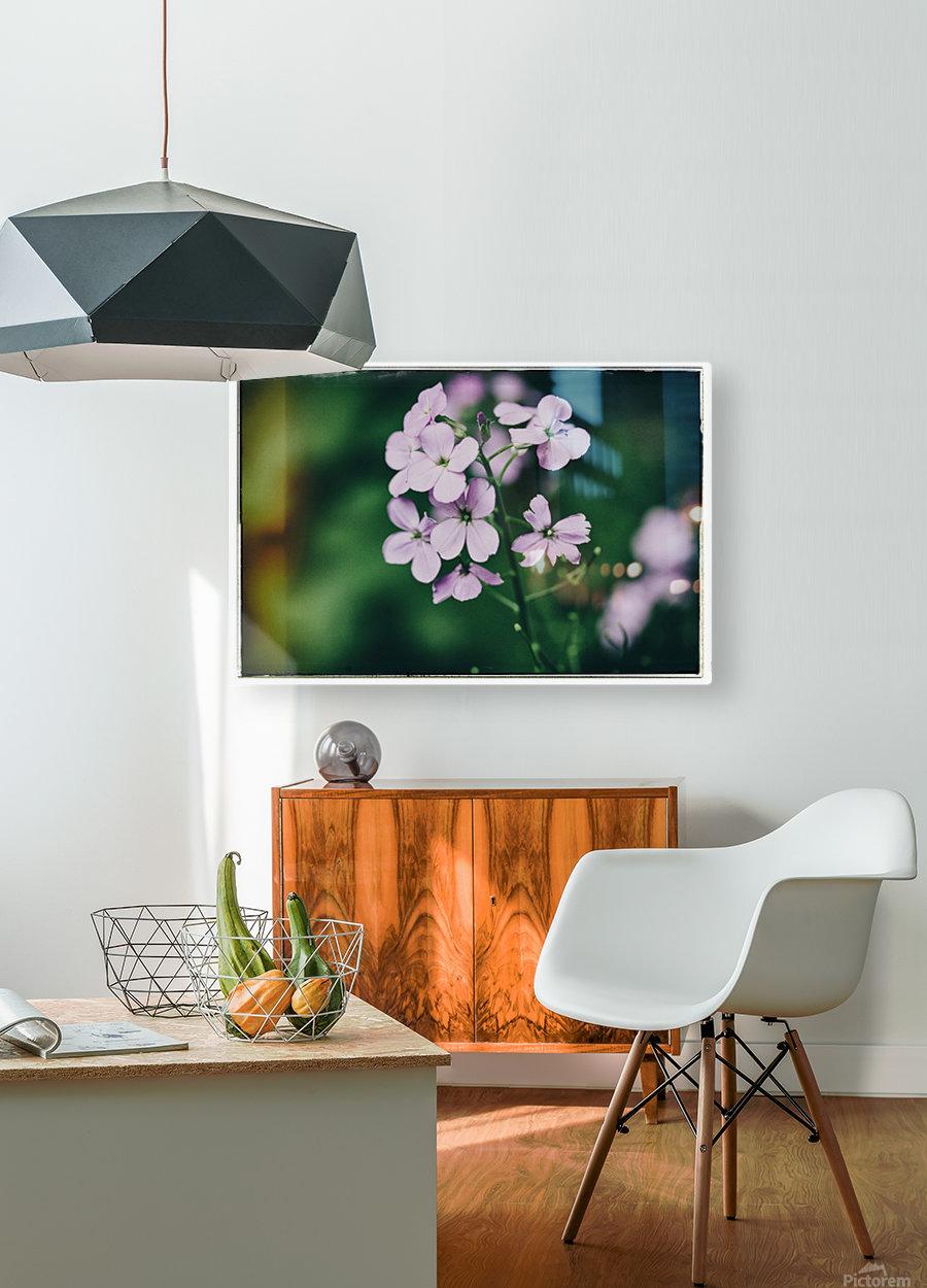 Phlox in Bloom  HD Metal print with Floating Frame on Back