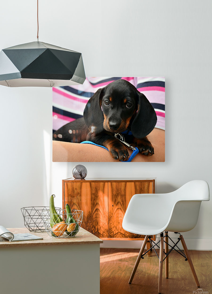 dachshund puppy young animal  HD Metal print with Floating Frame on Back
