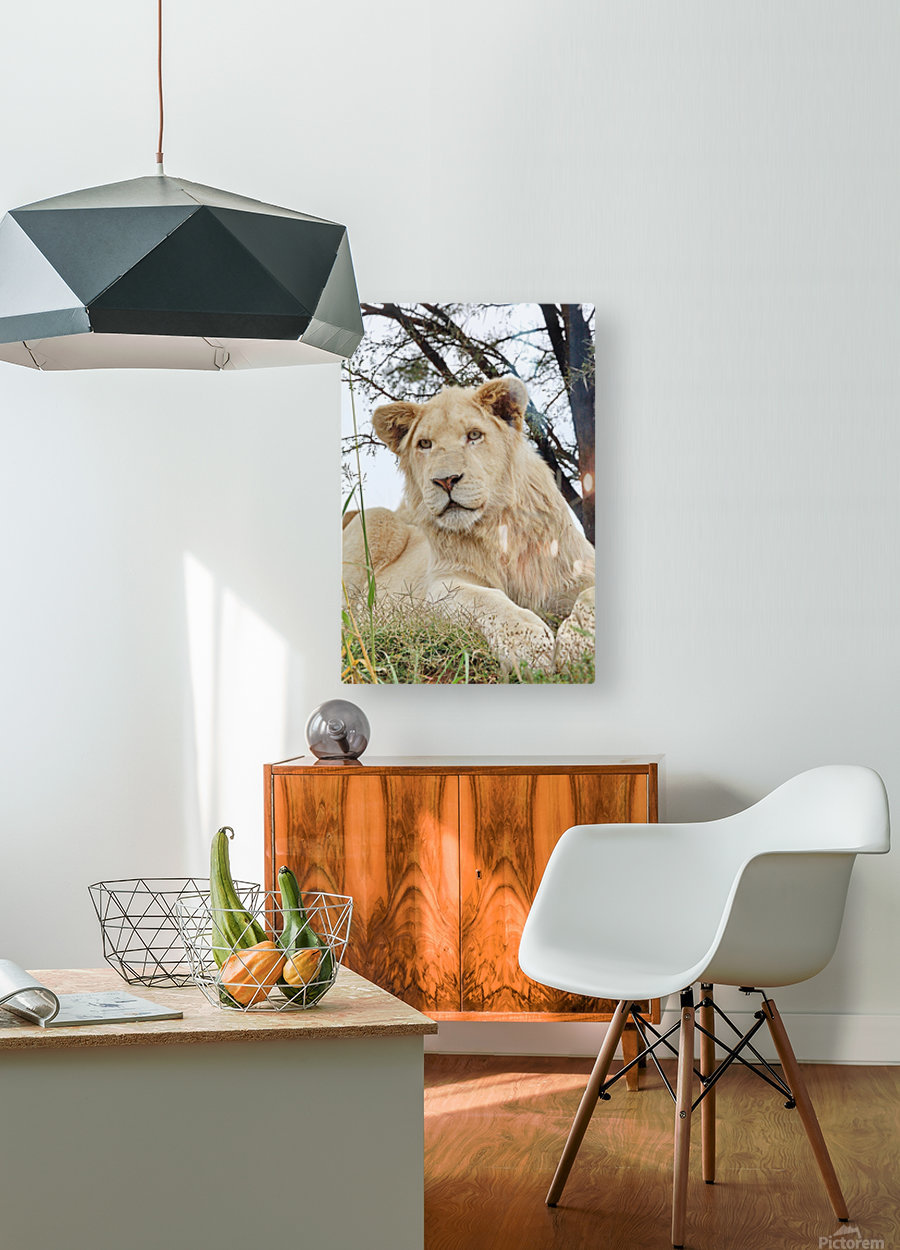 Young White Lion Male  HD Metal print with Floating Frame on Back