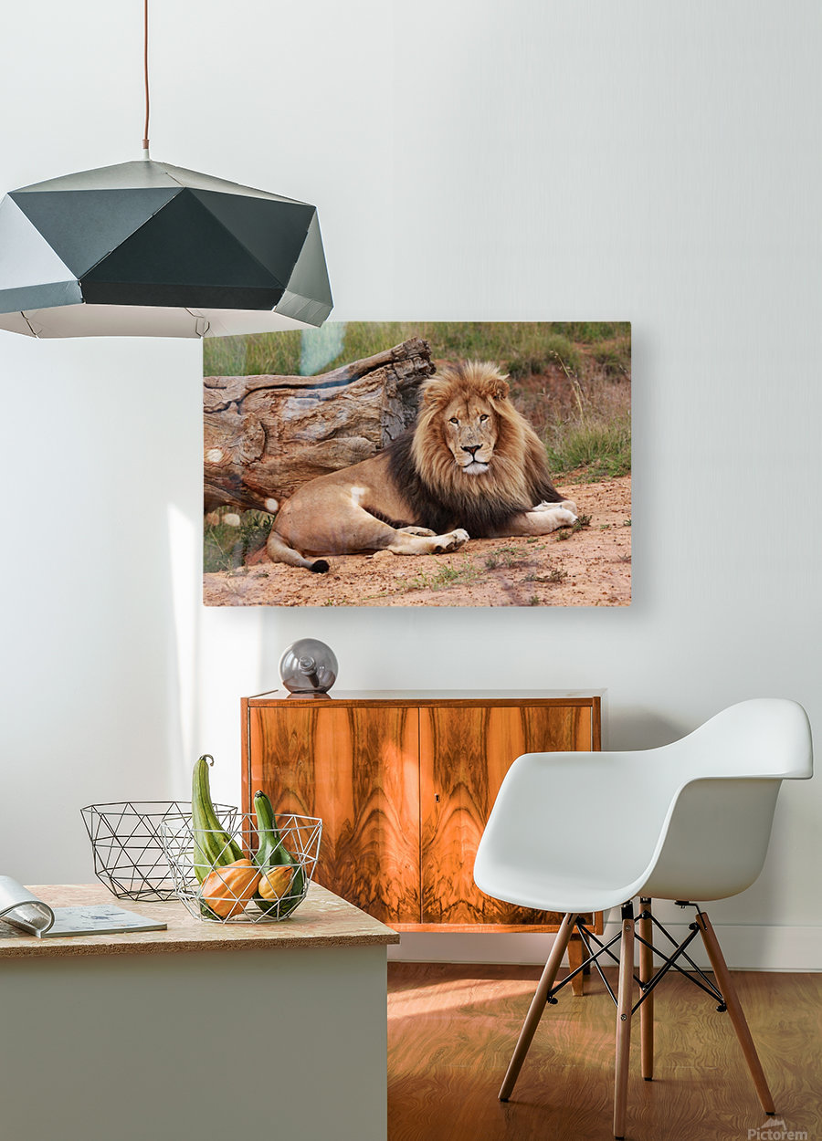 Brown Lion Male 9027  HD Metal print with Floating Frame on Back