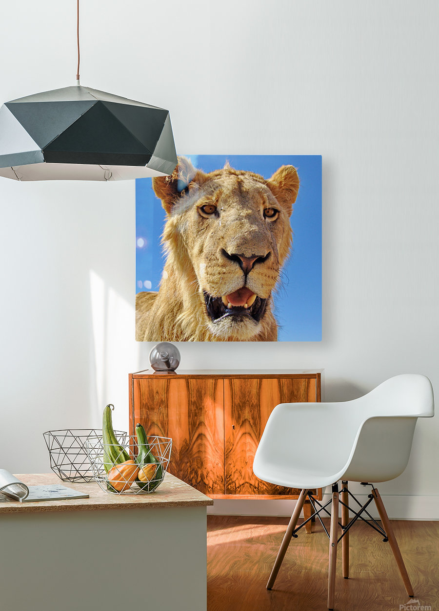 Lion close up square  HD Metal print with Floating Frame on Back