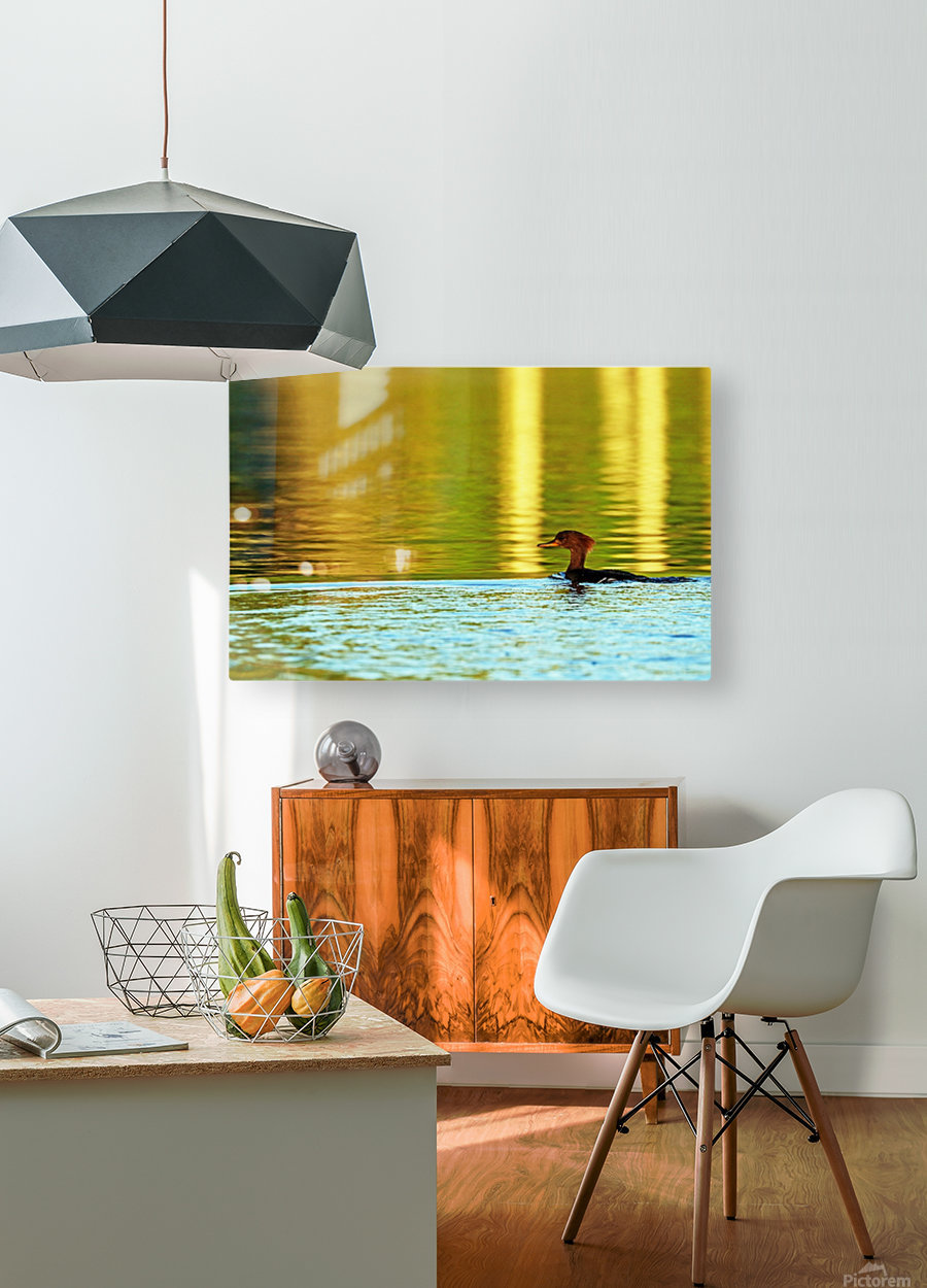 Merganser In Setting Sun  HD Metal print with Floating Frame on Back