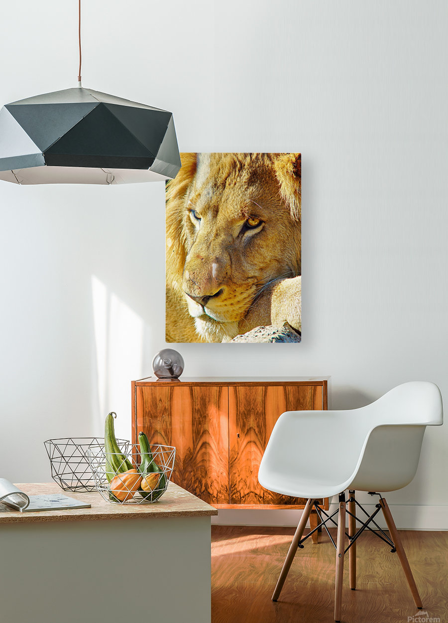 Lion Male  HD Metal print with Floating Frame on Back