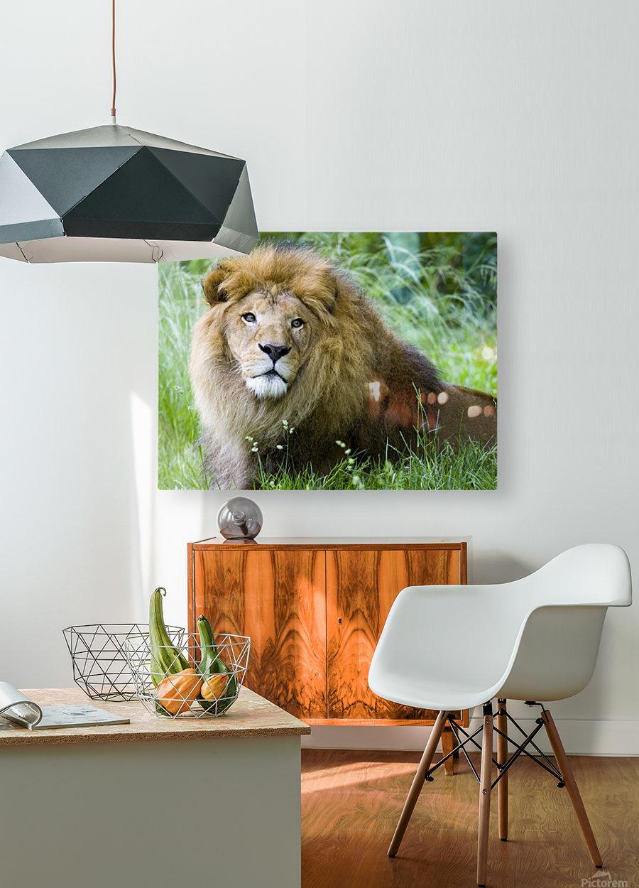 Simba  HD Metal print with Floating Frame on Back