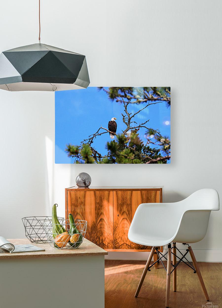 Bald Eagle Looking Regal  Impression métal HD avec cadre flottant sur le dos