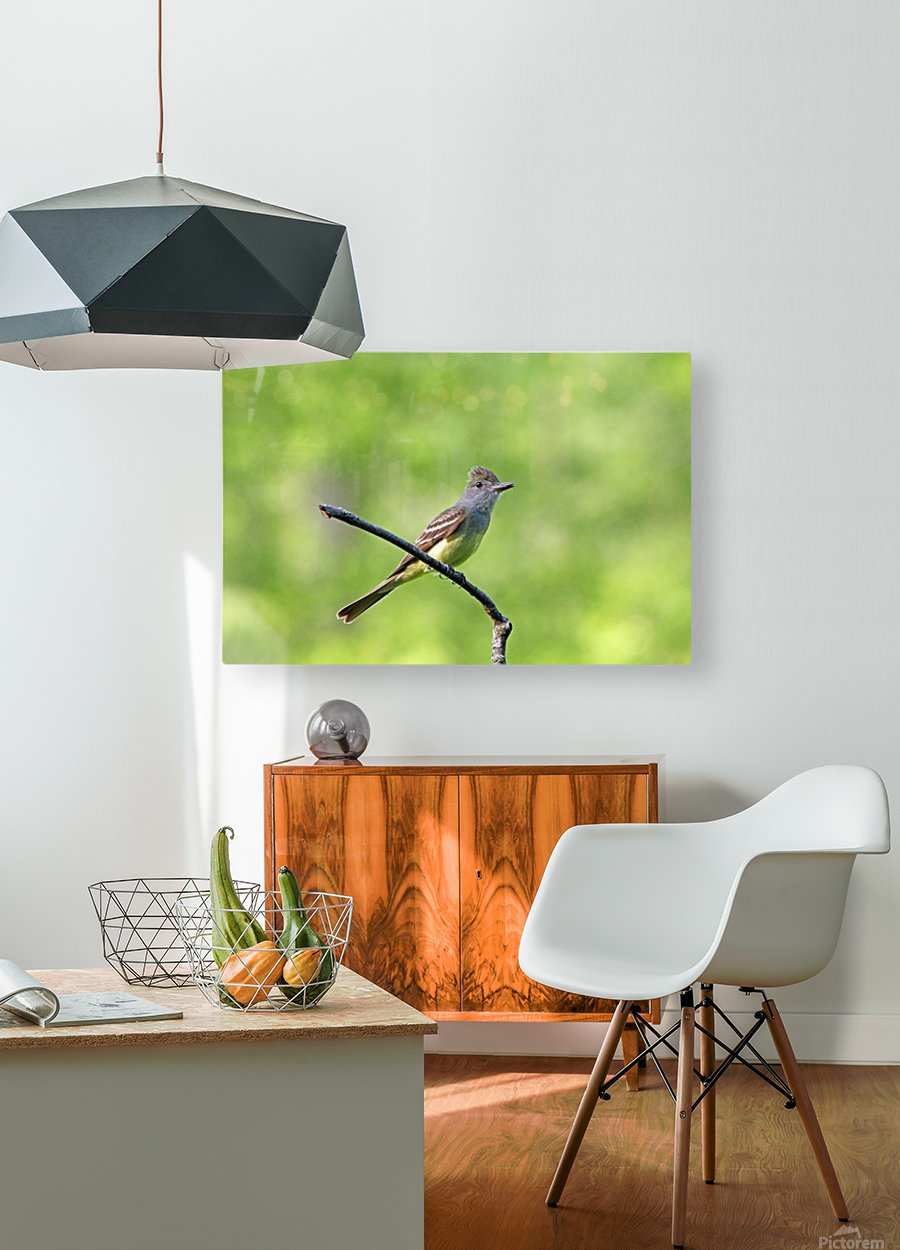 Great Crested Flycatcher With Snack  HD Metal print with Floating Frame on Back
