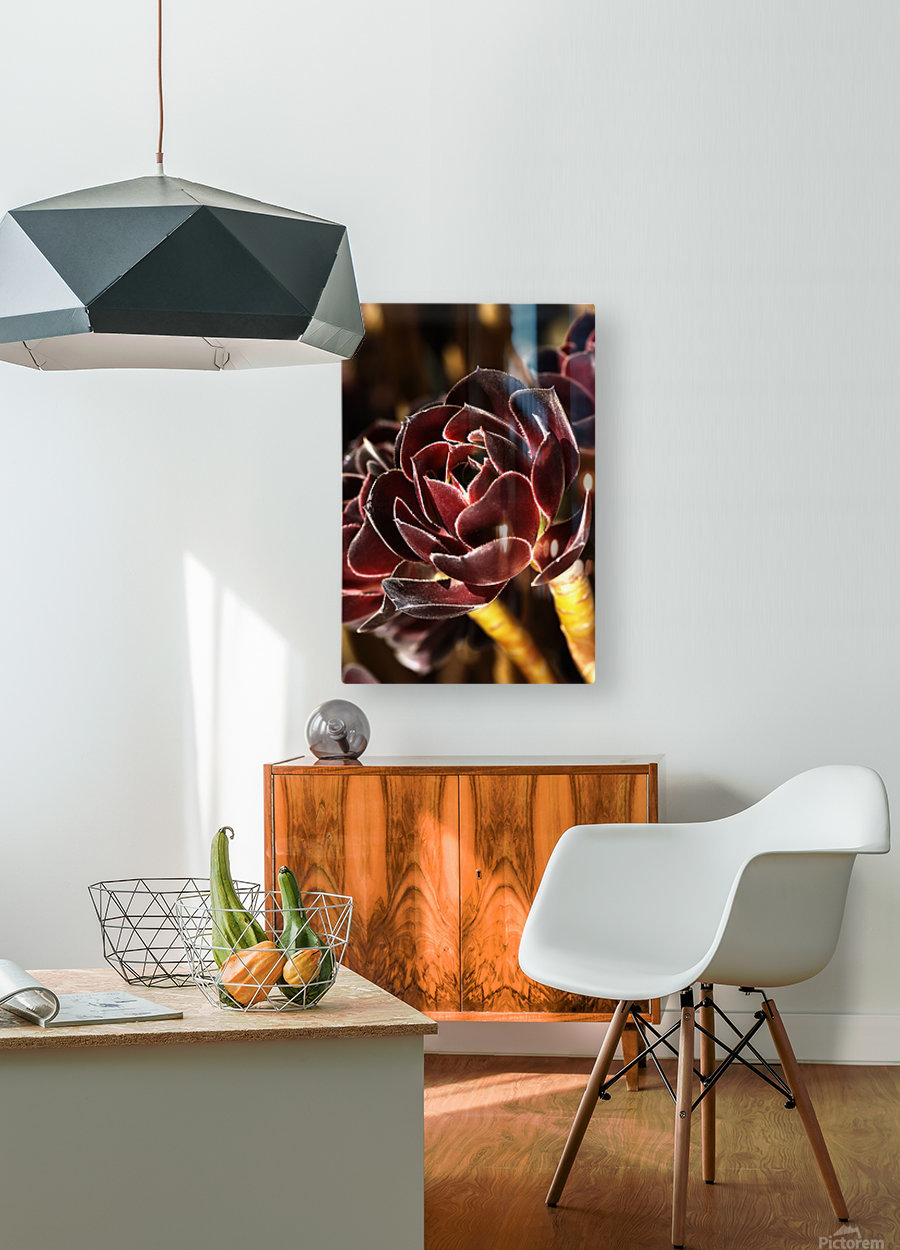 Purple Aeonium Succulent  HD Metal print with Floating Frame on Back