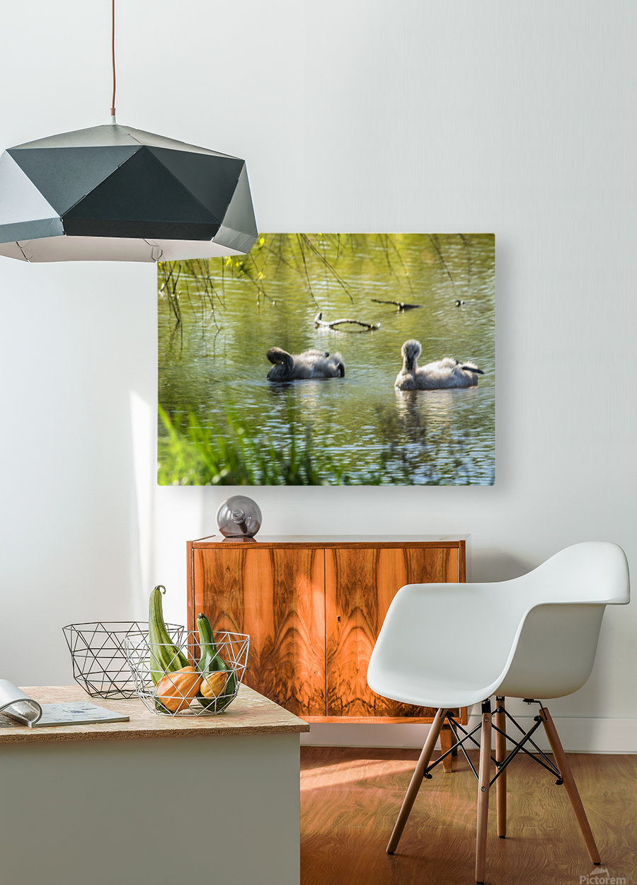 Cygnets  HD Metal print with Floating Frame on Back