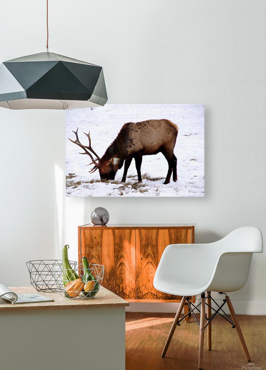 Elk in Wyoming  HD Metal print with Floating Frame on Back
