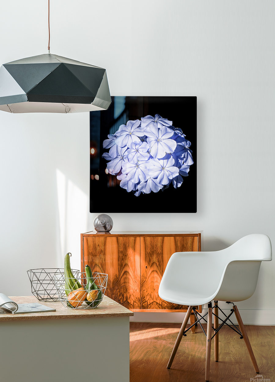 Blue Plumbago  HD Metal print with Floating Frame on Back