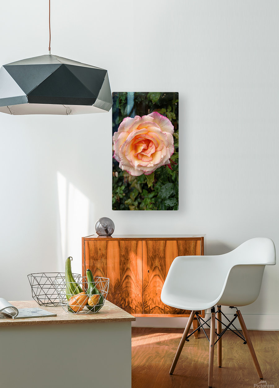 Peach Rose  HD Metal print with Floating Frame on Back