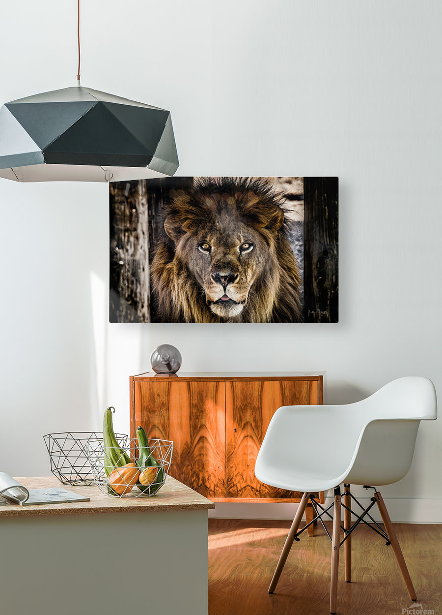 A Regal Lion  HD Metal print with Floating Frame on Back