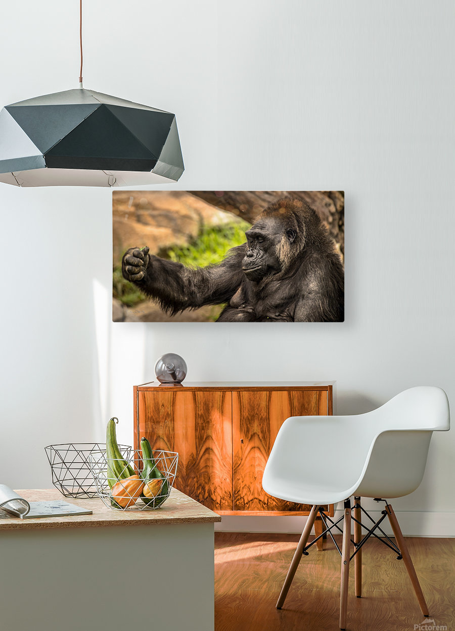 Quiet Gorilla Sleeping  HD Metal print with Floating Frame on Back