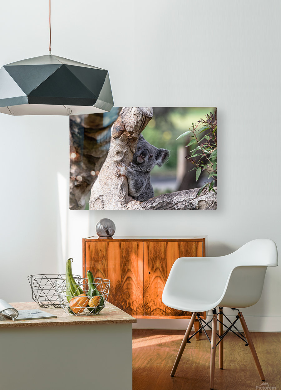 Australias Own Koala Bear  HD Metal print with Floating Frame on Back