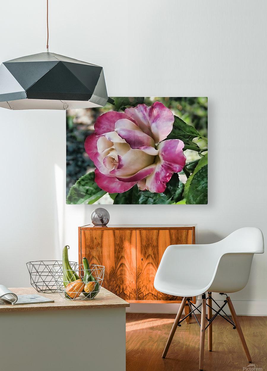 Lavender Rose  HD Metal print with Floating Frame on Back