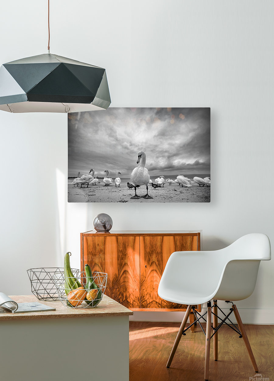 Swans on a winter beach  HD Metal print with Floating Frame on Back